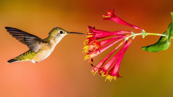 Hummingbird_Hero_Roger_Levien.jpeg